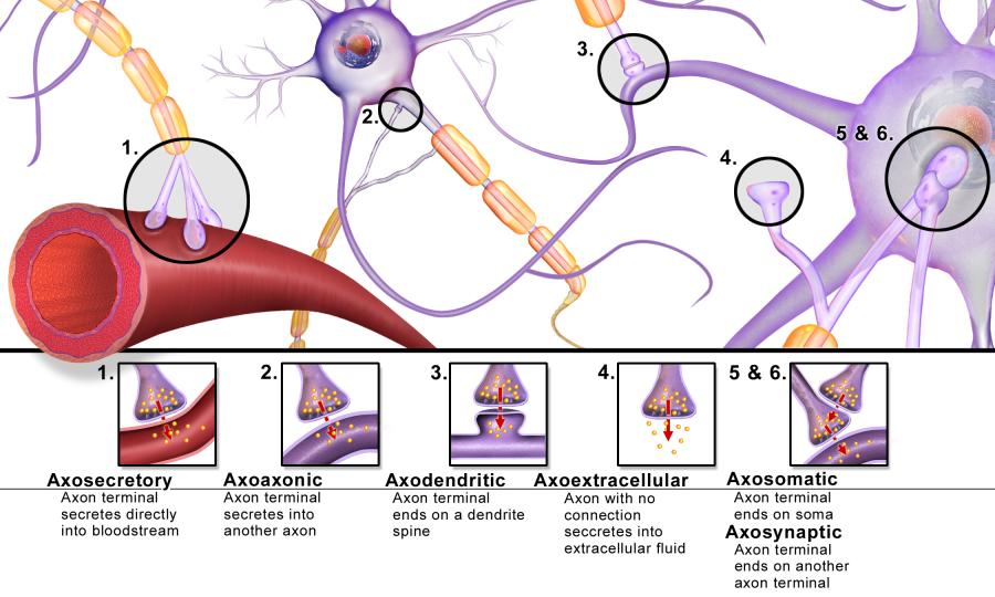 Blausen 0843 Synapse Types
