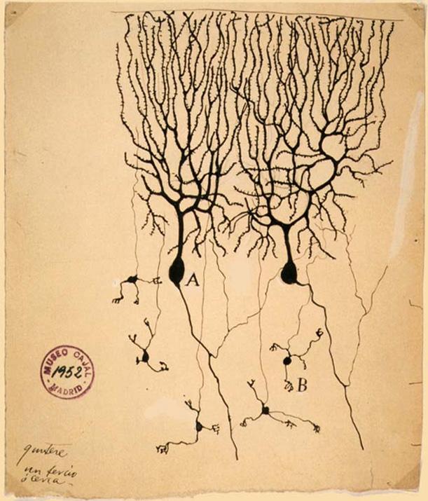 Purkinje Cell illustration by Santiago Ramón y Cajal