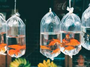 separate goldfish in bags